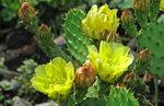 Цветы кактуса опунции