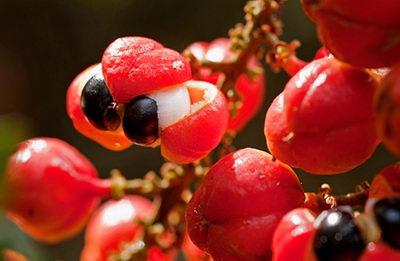 Гуарана - плод с семенами